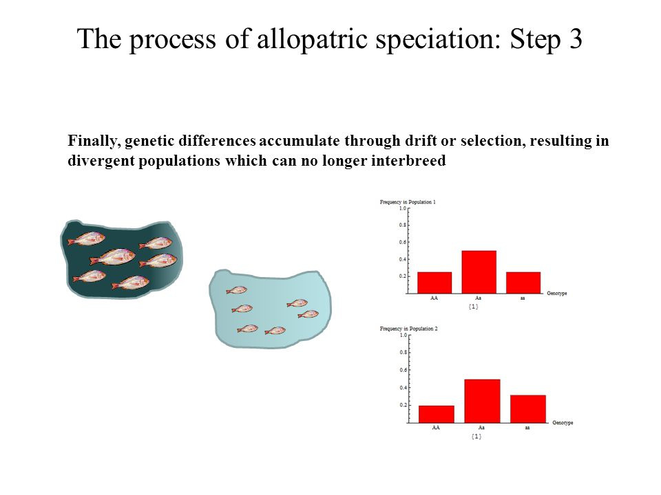 The process of allopatric speciation: Step 3