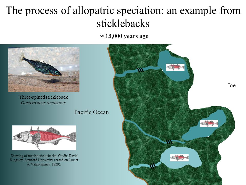 The process of allopatric speciation: an example from sticklebacks
