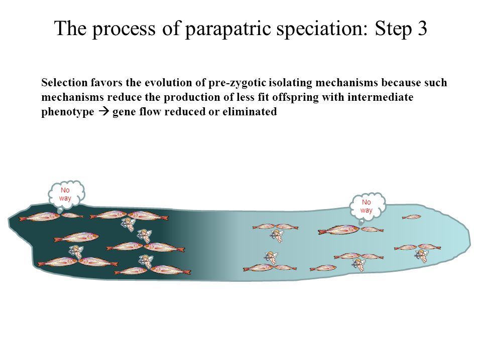 The process of parapatric speciation: Step 3