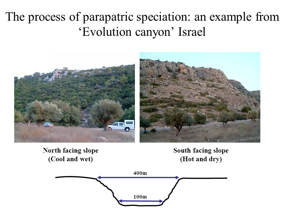 The process of parapatric speciation: an example from