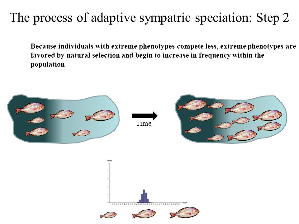 The process of adaptive sympatric speciation: Step 2