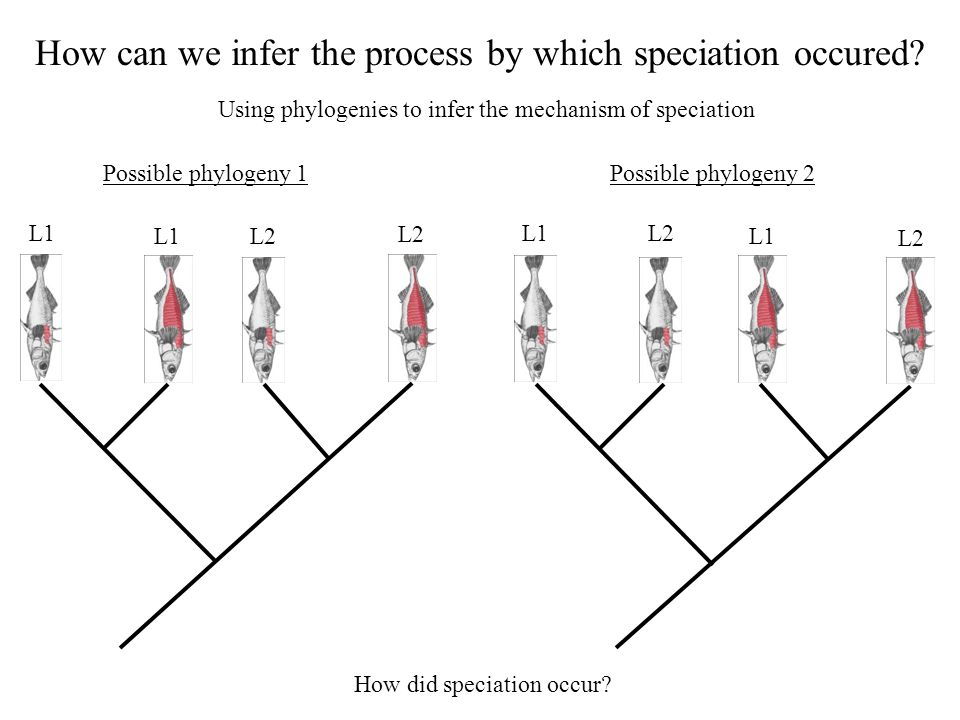 How can we infer the process by which speciation occured