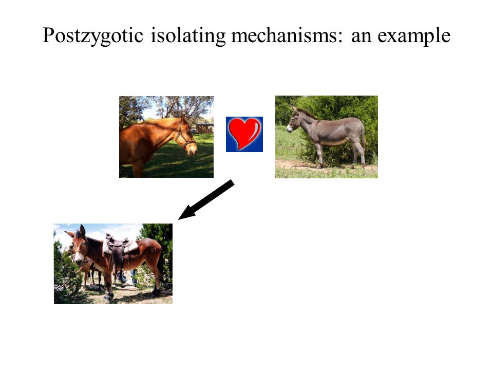 Postzygotic isolating mechanisms: an example