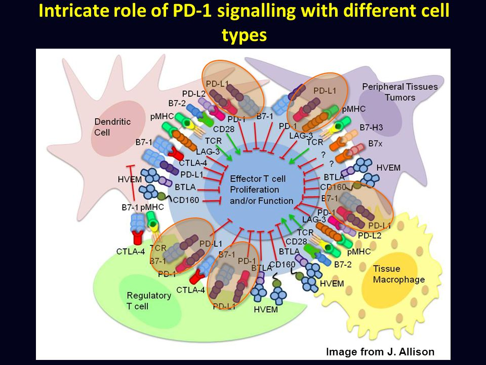 Intricate role of PD-1 signalling with different cell types
