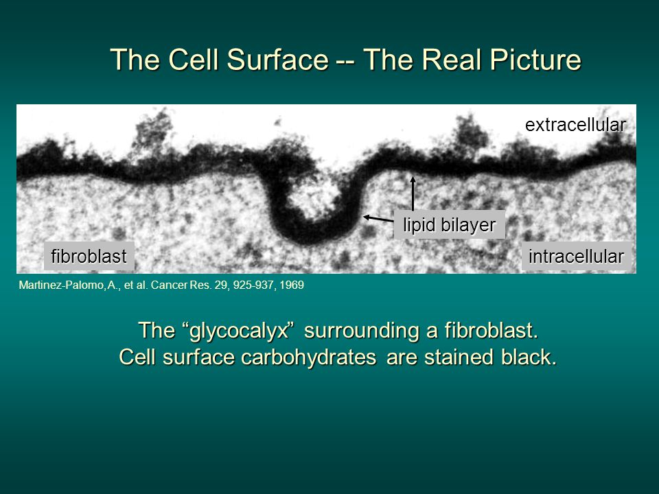 The Cell Surface -- The Real Picture