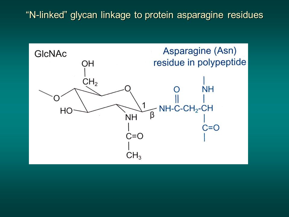 N-linked glycan linkage to protein asparagine residues