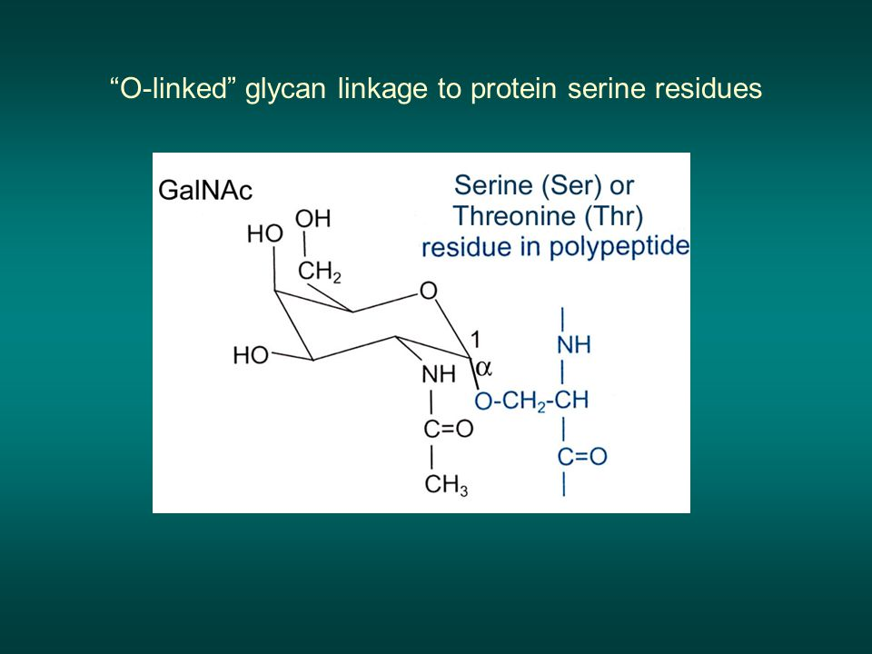 O-linked glycan linkage to protein serine residues
