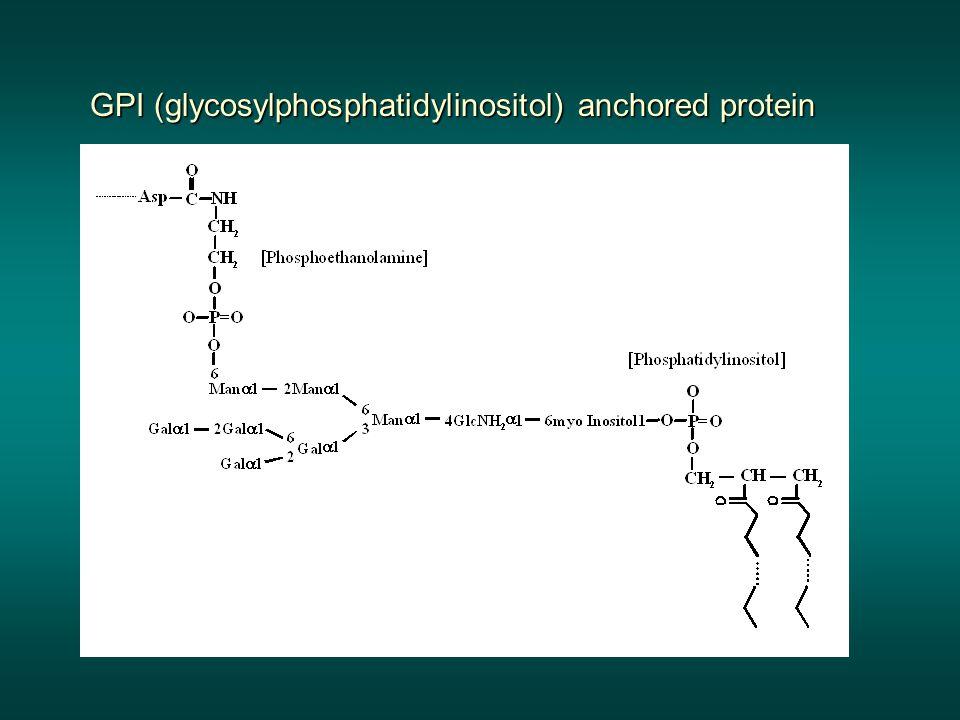 GPI (glycosylphosphatidylinositol) anchored protein