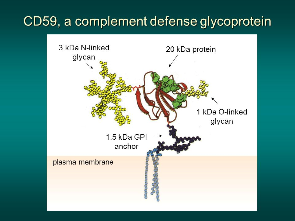 CD59, a complement defense glycoprotein