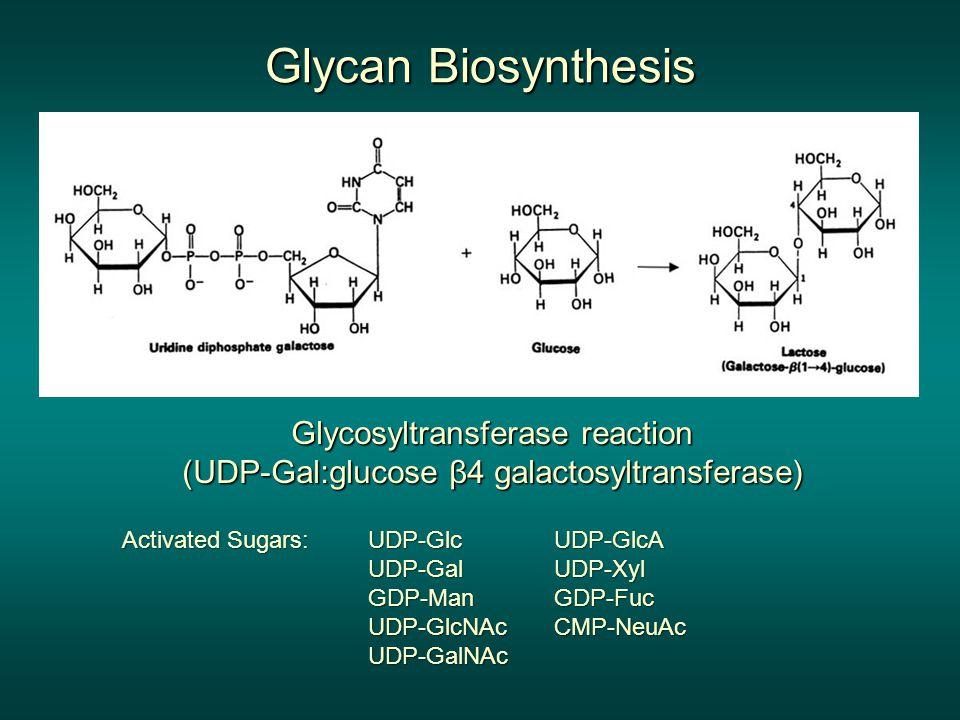 Glycan Biosynthesis Glycosyltransferase reaction (UDP-Gal:glucose β4 galactosyltransferase) UDP-Glc.