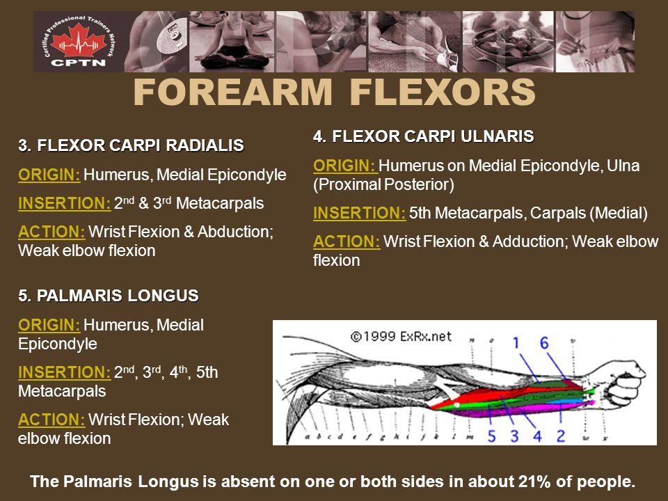 FOREARM FLEXORS 4. FLEXOR CARPI ULNARIS 3. FLEXOR CARPI RADIALIS