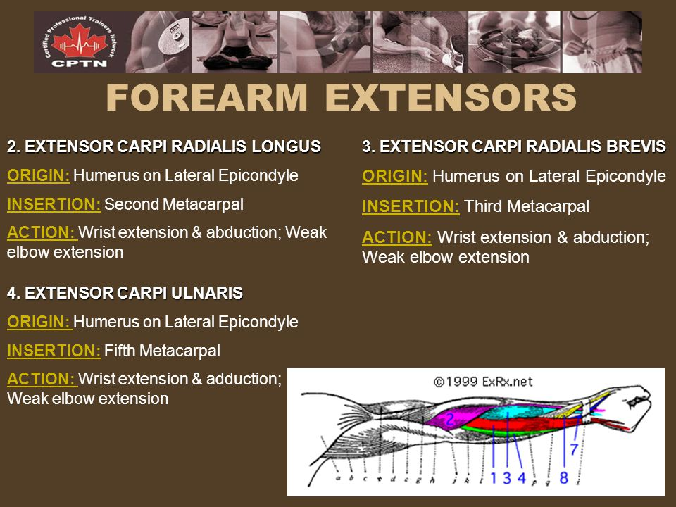 FOREARM EXTENSORS ORIGIN: Humerus on Lateral Epicondyle