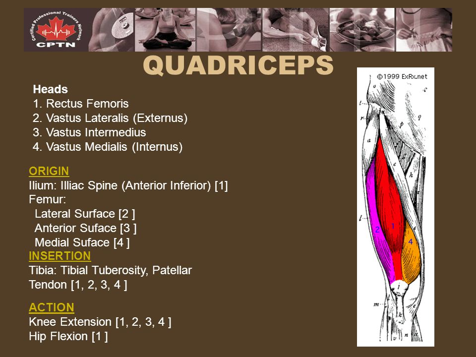 QUADRICEPS Heads 1. Rectus Femoris 2. Vastus Lateralis (Externus)