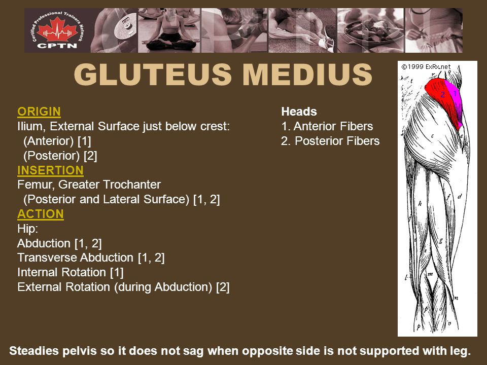 GLUTEUS MEDIUS ORIGIN Ilium, External Surface just below crest:
