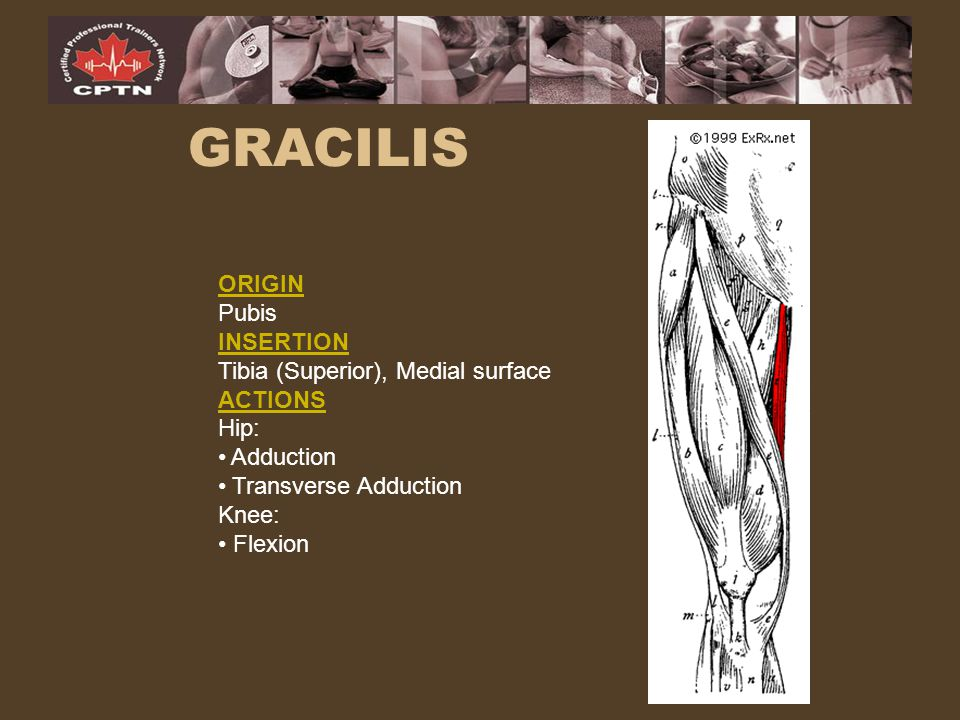 GRACILIS ORIGIN Pubis INSERTION Tibia (Superior), Medial surface
