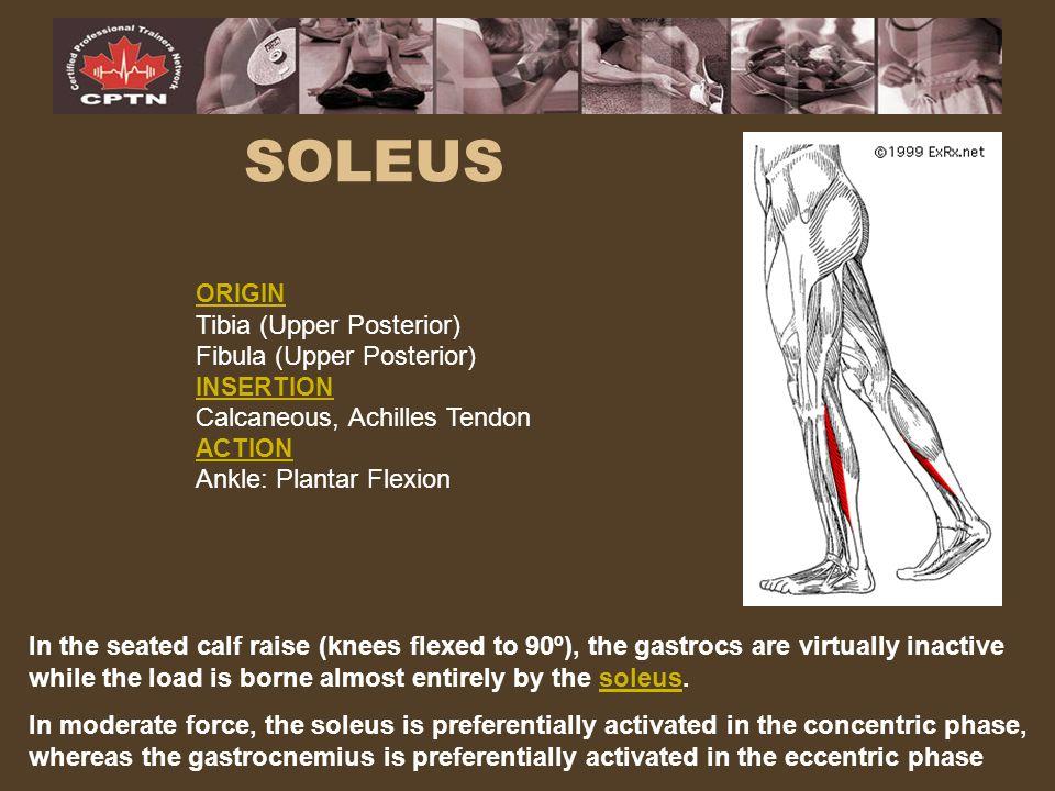 SOLEUS Tibia (Upper Posterior) Fibula (Upper Posterior)