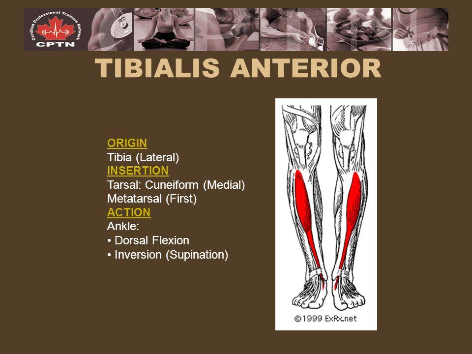 TIBIALIS ANTERIOR Tibia (Lateral) Tarsal: Cuneiform (Medial)
