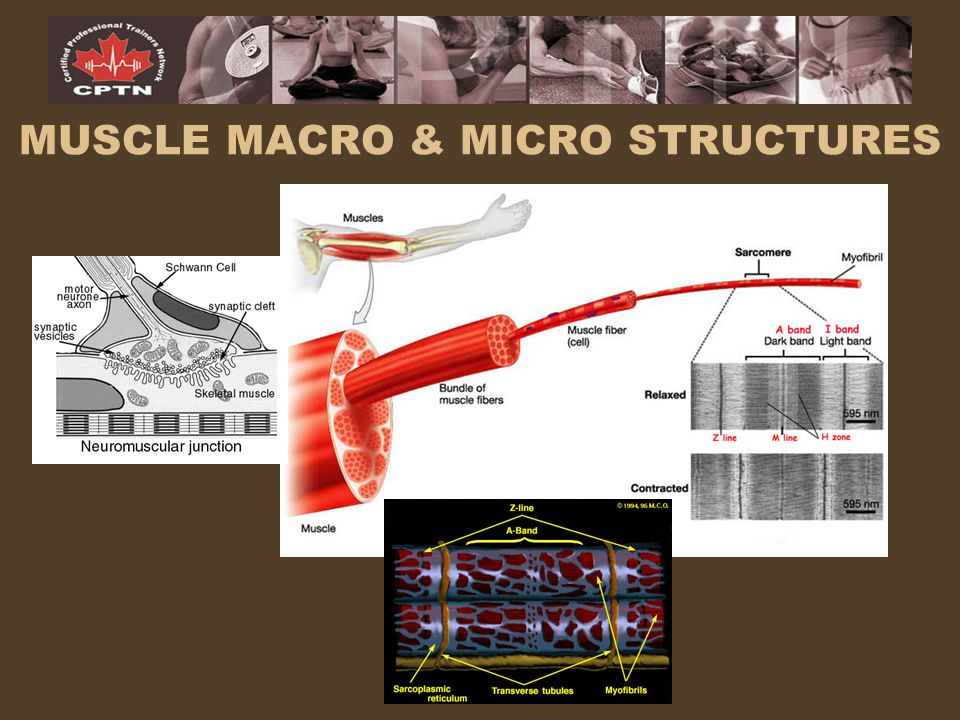 MUSCLE MACRO & MICRO STRUCTURES