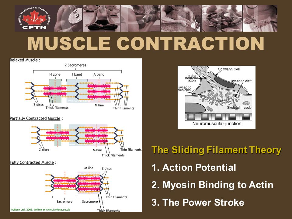 MUSCLE CONTRACTION The Sliding Filament Theory Action Potential