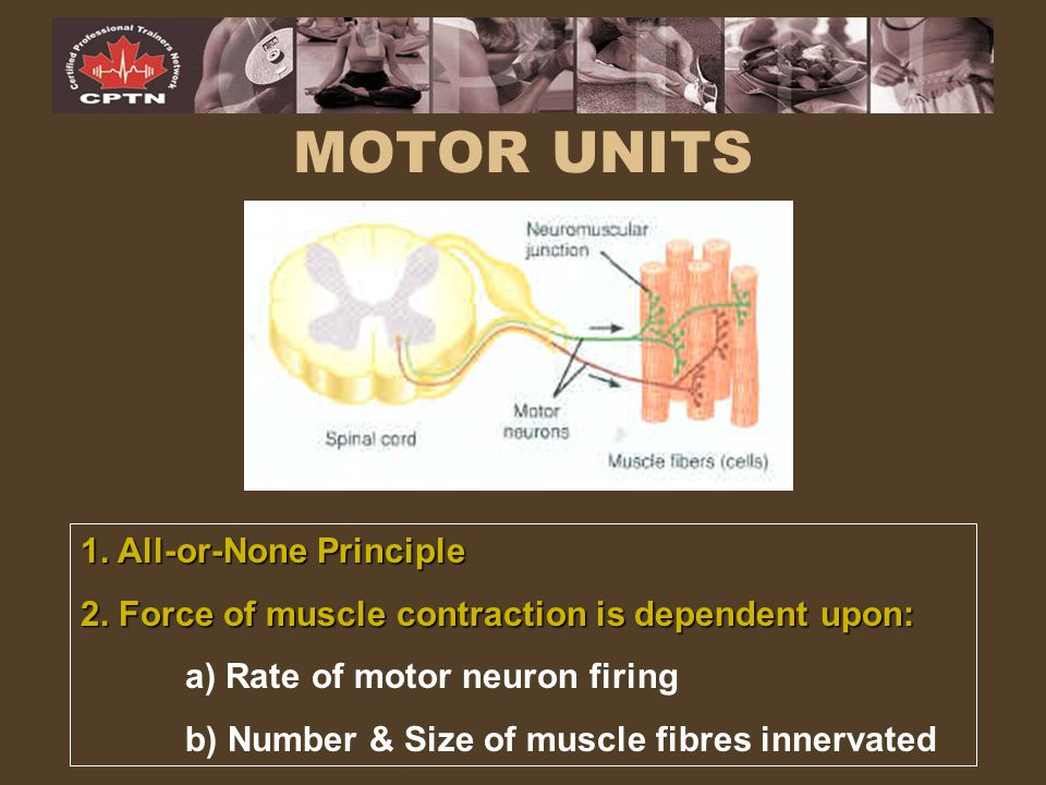 MOTOR UNITS 1. All-or-None Principle