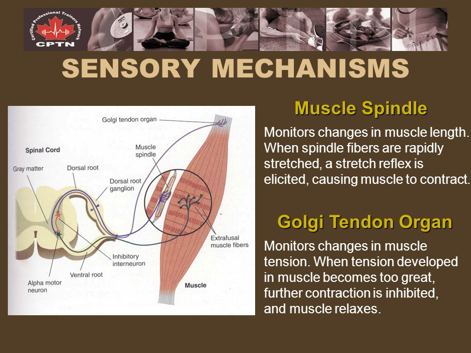SENSORY MECHANISMS Muscle Spindle Golgi Tendon Organ