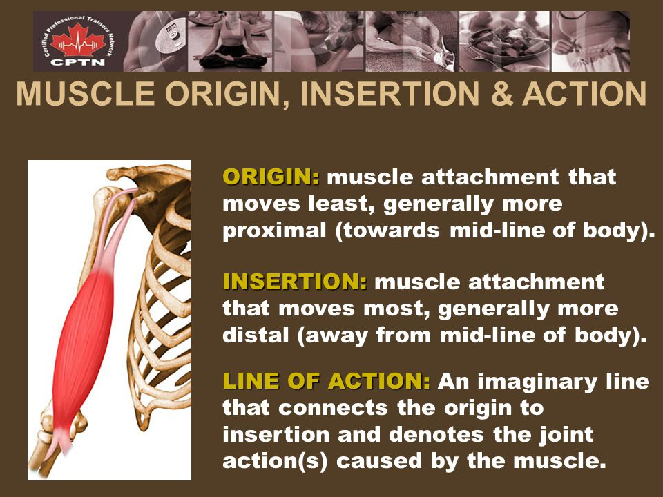 MUSCLE ORIGIN, INSERTION & ACTION