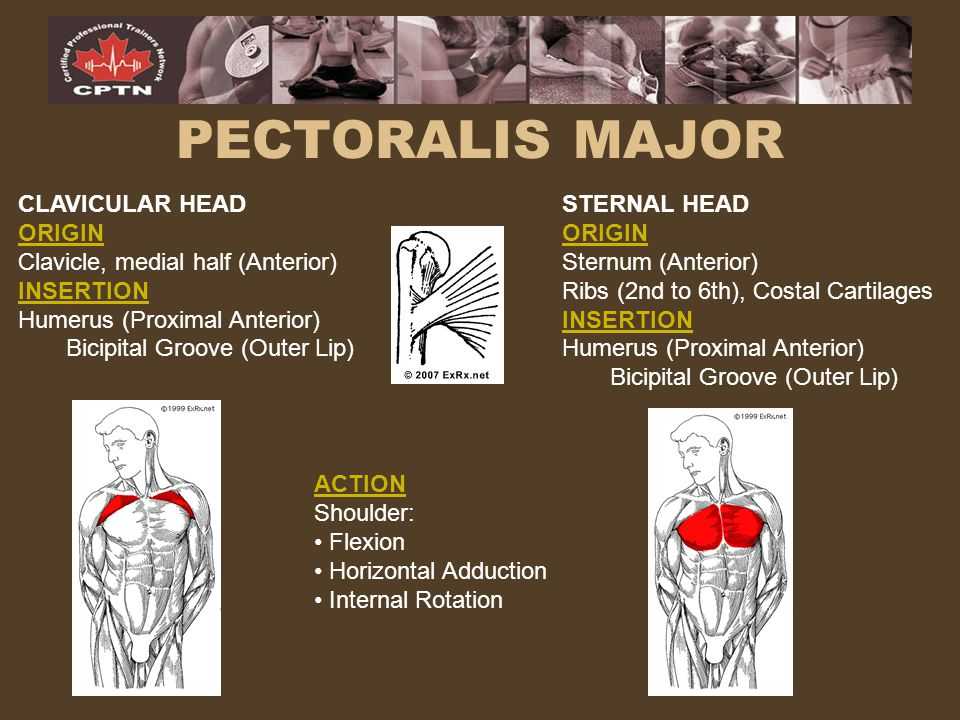 PECTORALIS MAJOR CLAVICULAR HEAD ORIGIN