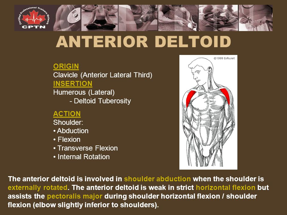 ANTERIOR DELTOID ORIGIN Clavicle (Anterior Lateral Third) INSERTION