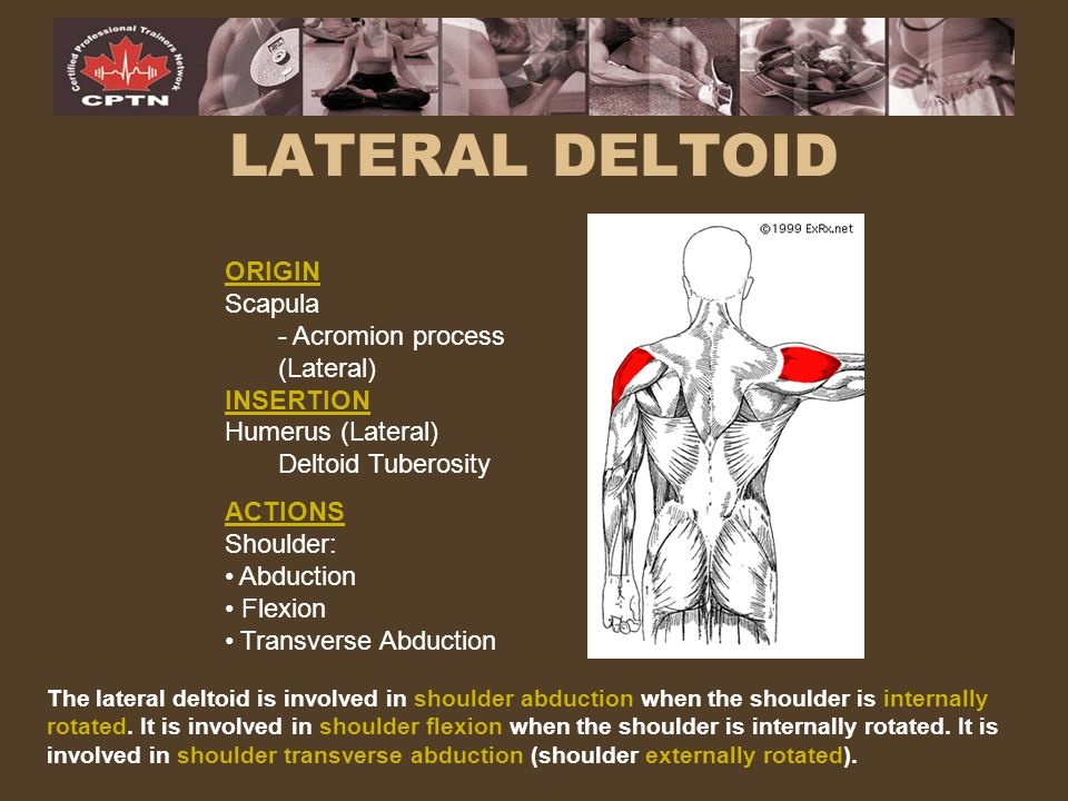 LATERAL DELTOID ORIGIN Scapula - Acromion process (Lateral) INSERTION