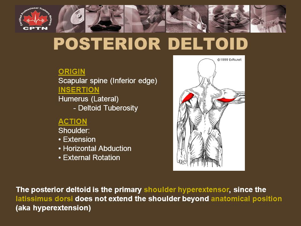 POSTERIOR DELTOID ORIGIN Scapular spine (Inferior edge) INSERTION