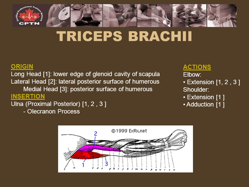 TRICEPS BRACHII ORIGIN