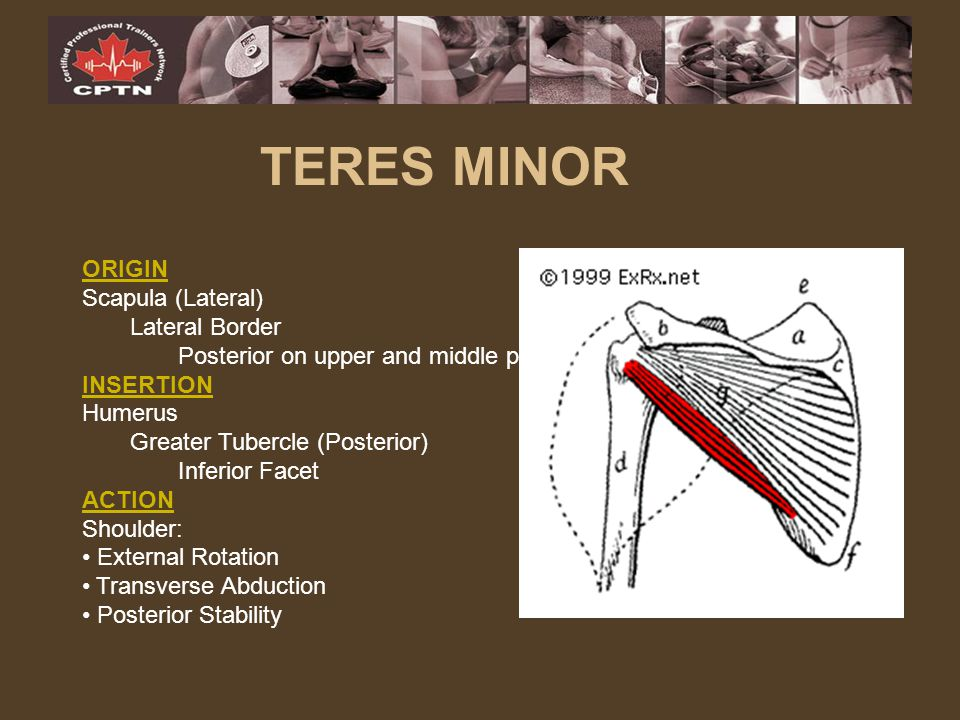 TERES MINOR ORIGIN Scapula (Lateral) Lateral Border
