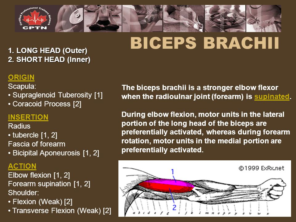 BICEPS BRACHII 1. LONG HEAD (Outer) 2. SHORT HEAD (Inner) ORIGIN