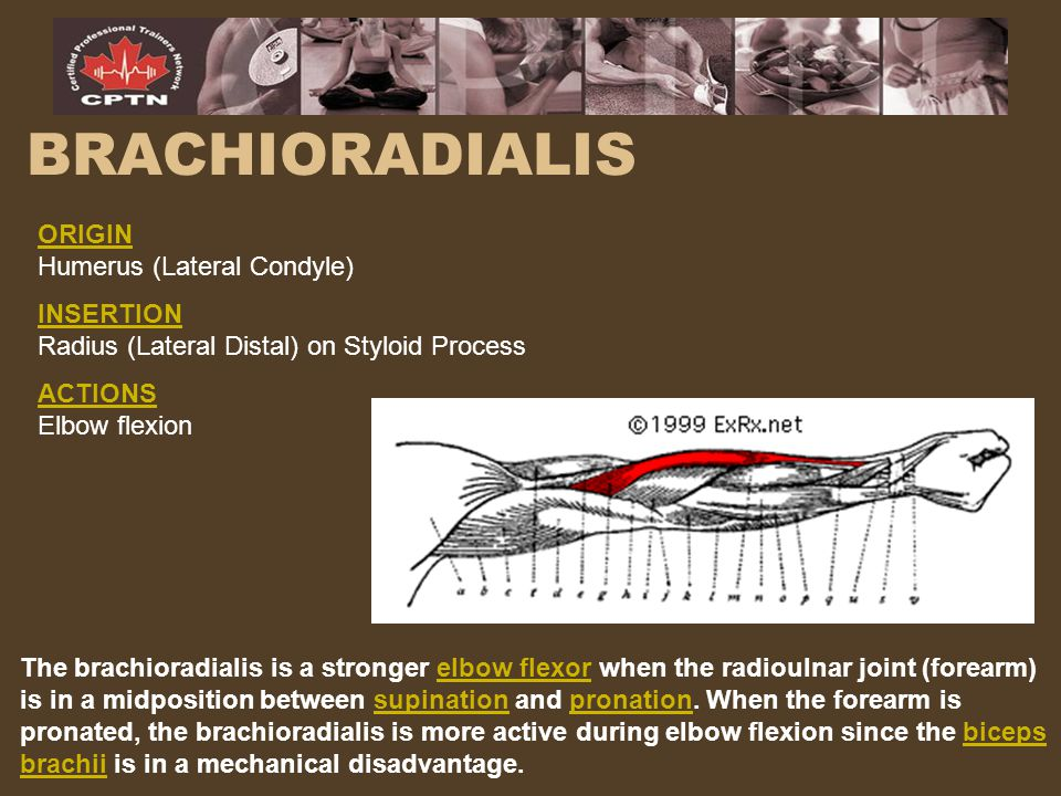 BRACHIORADIALIS ORIGIN Humerus (Lateral Condyle) INSERTION