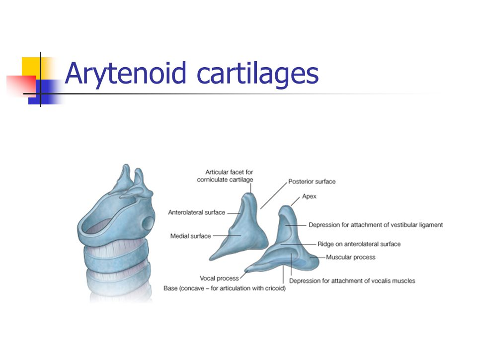 Arytenoid cartilages