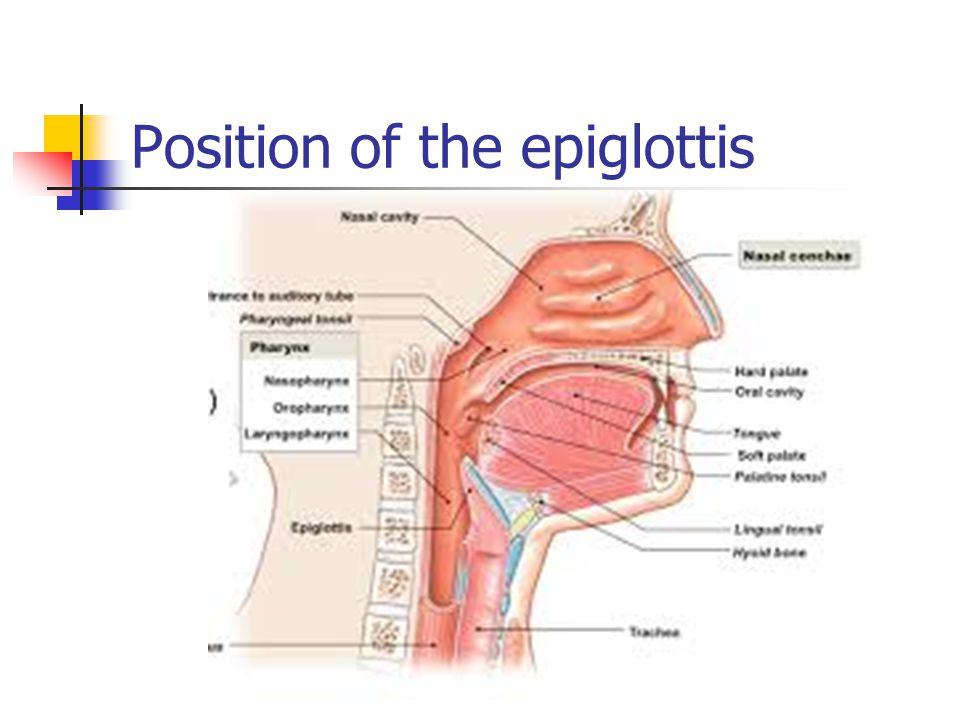 Position of the epiglottis