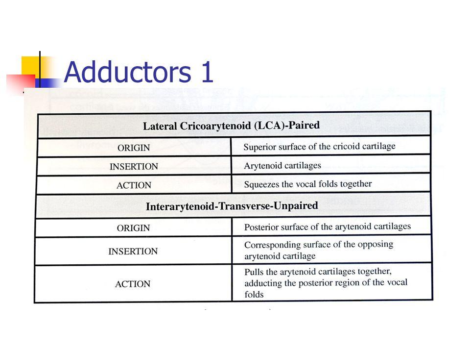 Adductors 1