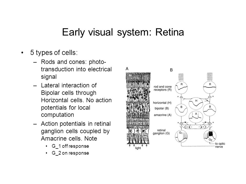 Early visual system: Retina
