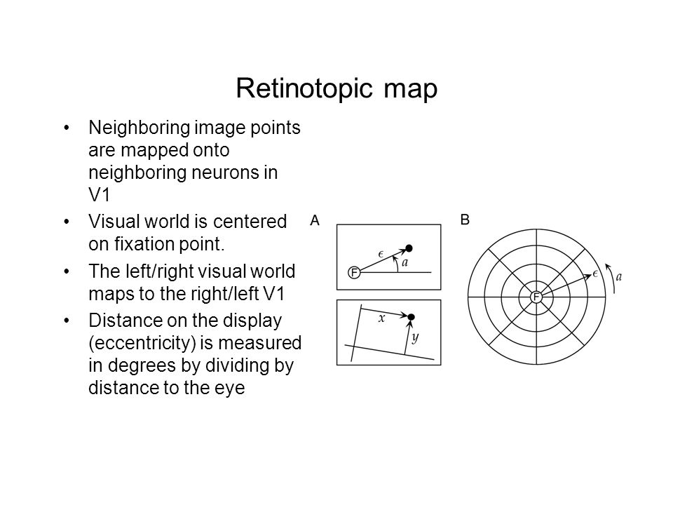 Retinotopic map Neighboring image points are mapped onto neighboring neurons in V1. Visual world is centered on fixation point.