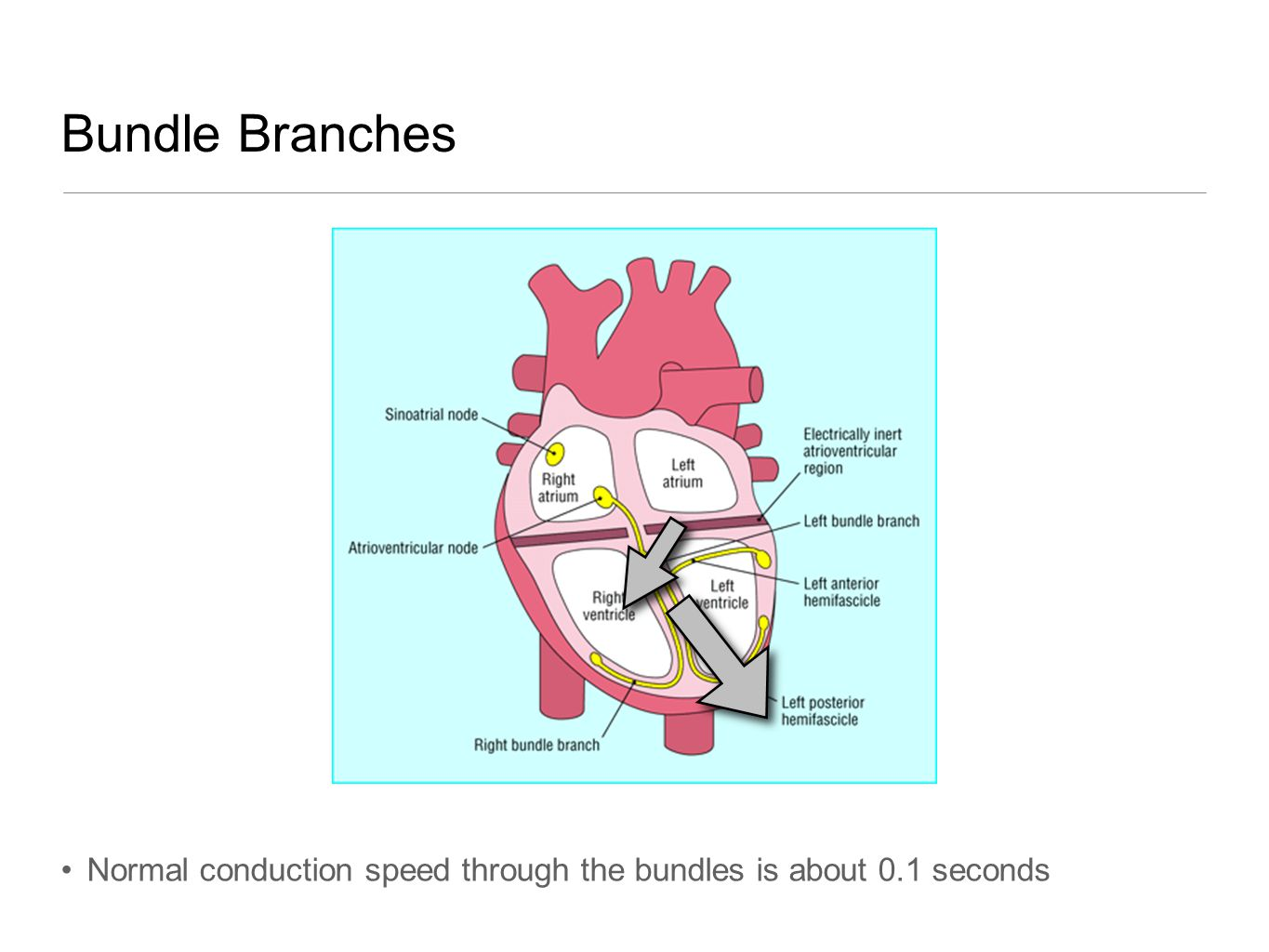 Bundle Branches Normal conduction speed through the bundles is about 0.1 seconds