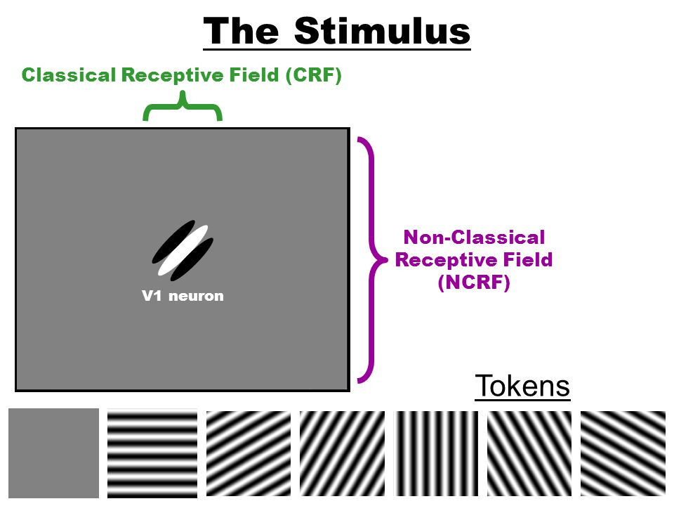 The Stimulus Tokens Classical Receptive Field (CRF) Non-Classical