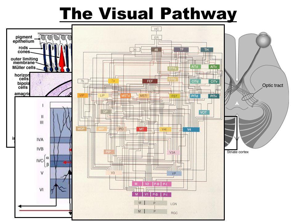 The Visual Pathway Parvo Magno Left Eye Right Eye L R