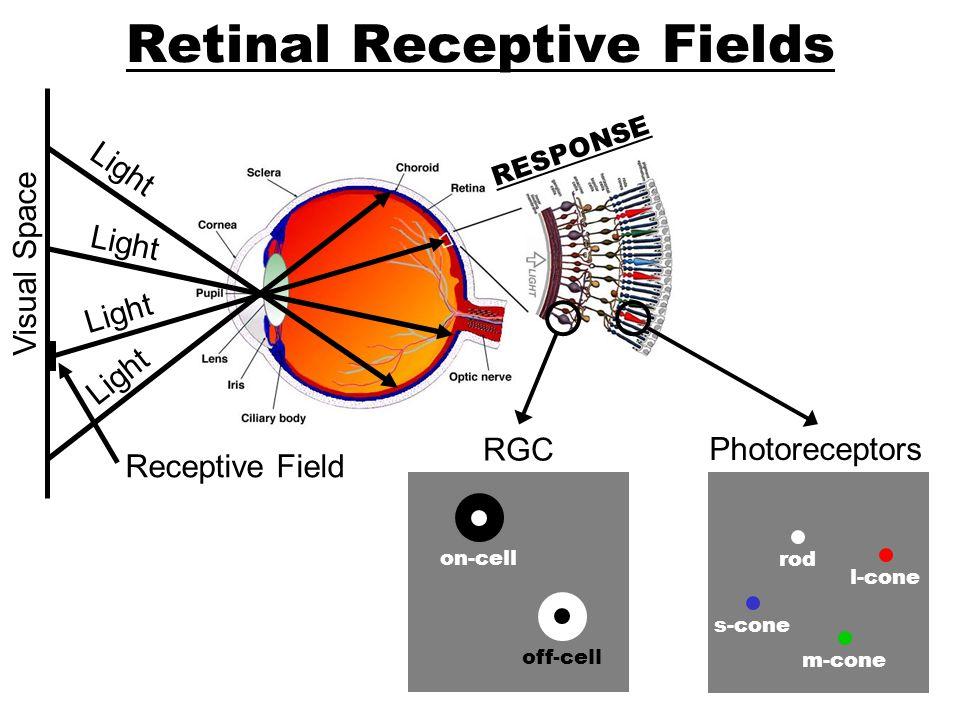 Retinal Receptive Fields