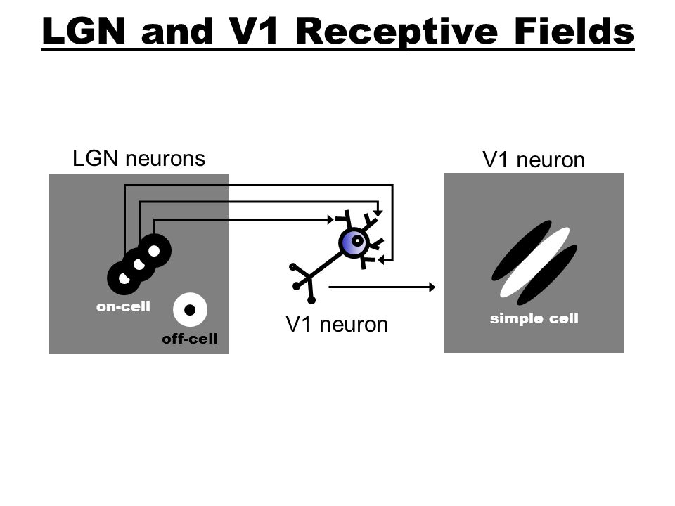 LGN and V1 Receptive Fields