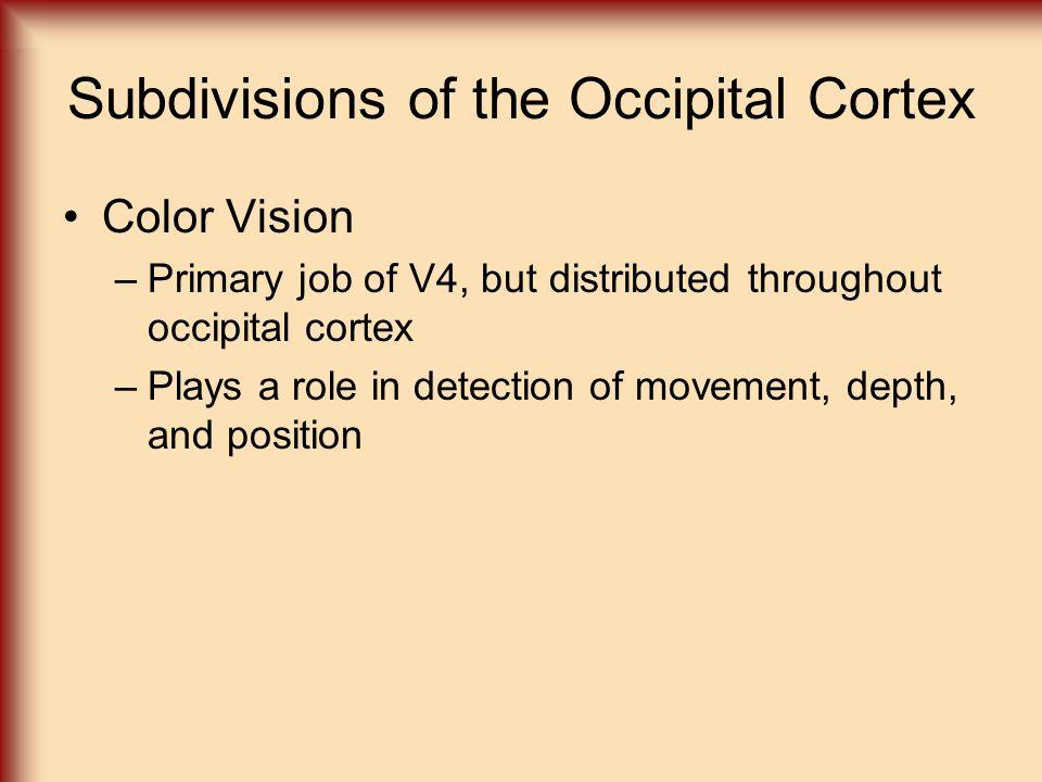 Subdivisions of the Occipital Cortex