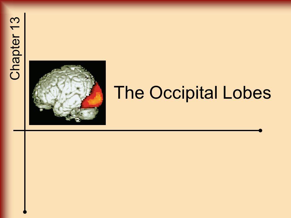 The Occipital Lobes
