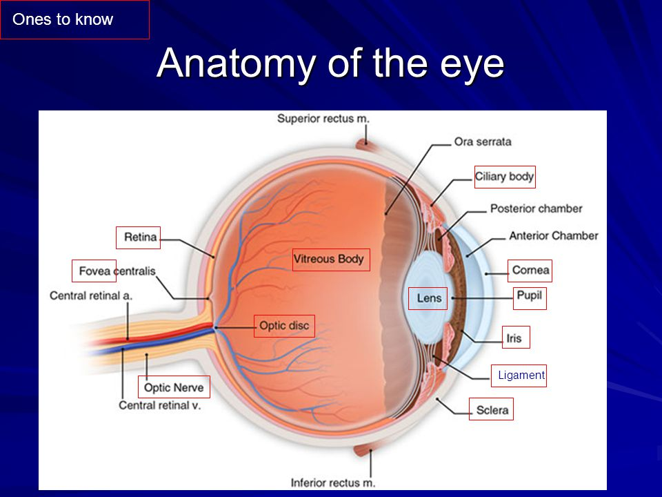 Ones to know Anatomy of the eye Ligament