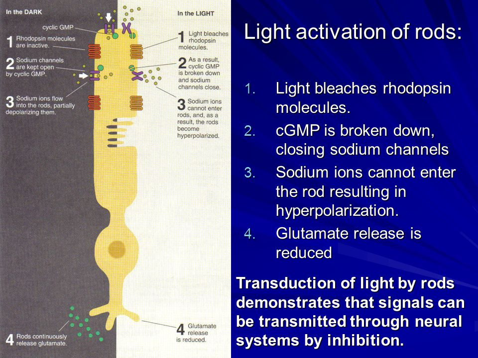 Light activation of rods: