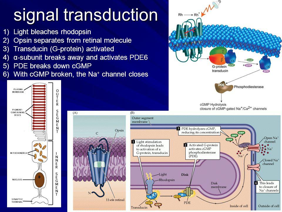 signal transduction Light bleaches rhodopsin