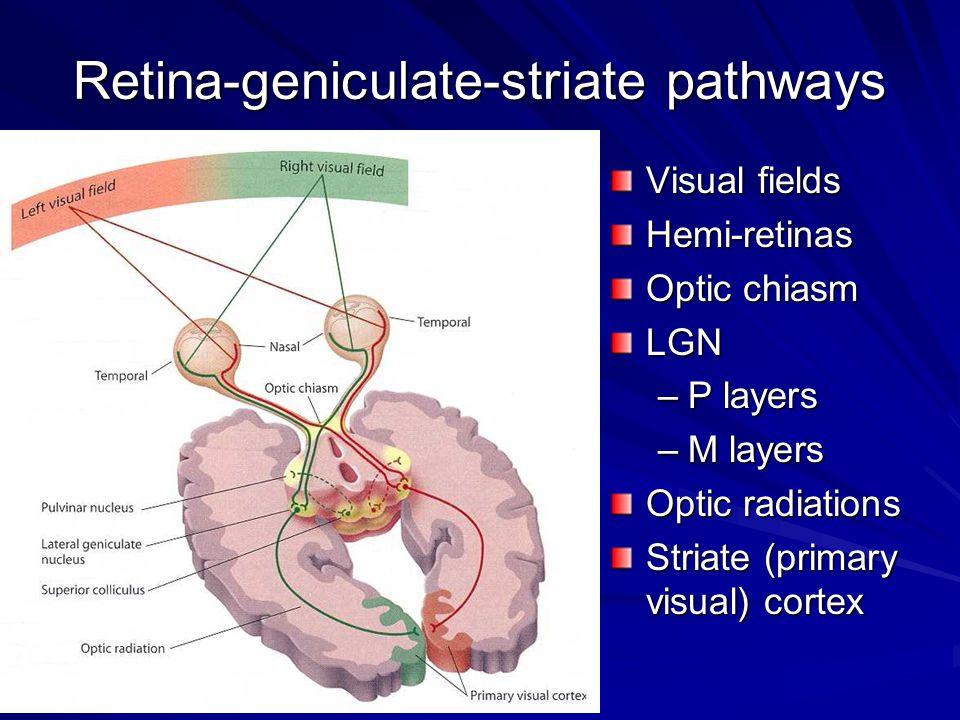 Retina-geniculate-striate pathways
